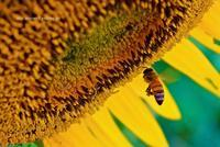 honeybee - A  B  C