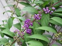 コムラサキと秋の花たち - bowerbird garden ~私はニワシドリ~