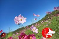 コスモス - イチガンの花道