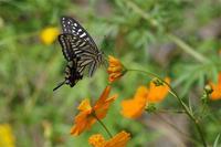 身近な蝶2種 - 蝶と蜻蛉の撮影日記
