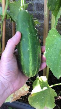 まだまだ育ってるミニトマト・レッドペッパー・胡瓜の収穫/オランダ - Nederlanden地位向上委員会