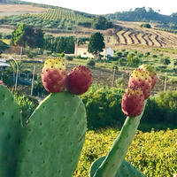 今年もこの季節がやってきました 〜 サボテンの実、フィーキ ディ インディア - 幸せなシチリアの食卓、時々旅
