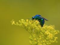オミナエシと青い鎧をまとった蜂(オオセイボウ) - トドの野鳥日記