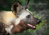 リカオン:African wild dog - 動物園の住人たち写真展