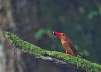 遠征アカショウビン終 - 今日も鳥撮り