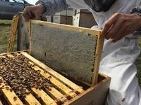 春の初めの養蜂一コマ - みつばちとニュージーランドで暮らす PicoMiere