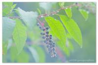雨つぶと葡萄のつぶ。 - Yuruyuru Photograph