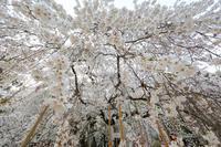 小川諏訪神社の桜 - koushin Photograph &マグナ250