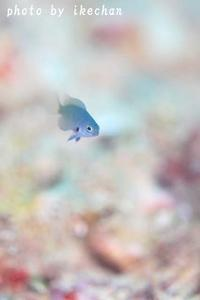 タラレバ ~ニセモンツキスズメダイ幼魚~ - 池ちゃんのマリンフォト