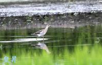 インフォメイション特に敏感な水鳥で、撮影は難しいです。(・・?誠 - 皇 昇