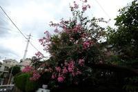 サルスベリ - エンジェルの画日記・音楽の散歩道
