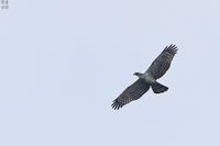 大きな鳥と小さな鳥 ハチクマとキビタキ - 野鳥公園