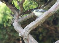 シジュウカラの親子 - ゆるゆる野鳥観察日記