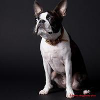 ボストン・テリア! - いとしい犬たちのフォトブログ