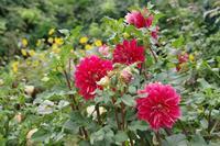 秋の花探し~あしかがフラワーパークへⅢ - 季節の風を追いかけて