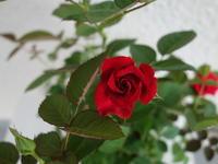 9月の薔薇★このままずっと・・・ - 月夜飛行船