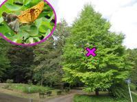 メスグロヒョウモンの交尾 - 秩父の蝶