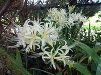 彼岸花 - だんご虫の花