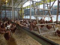 「秋の雛鶏Sep-2018」 - 自然卵農家の農村ブログ 「歩荷の暮らし」