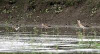 水の張られた休耕田でエリマキシギに逢う - 私の鳥撮り散歩