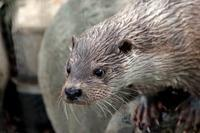 夕暮れカワウソ、ひたむきに食べる「はな」(井の頭自然文化園) - 続々・動物園ありマス。