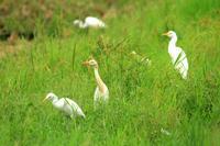 亜麻サギ - barbersanの野鳥観察