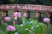 白水阿弥陀堂の古代蓮 - koushin Photograph &マグナ250