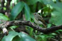 水場のキビタキ・・・幼鳥・成鳥 - 赤いガーベラつれづれの記