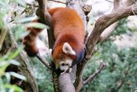 大人のレッサーパンダ - 動物園に嵌り中