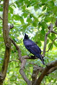 久しぶりの野鳥 カラス - 平凡な日々の中で