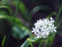 近所のニラの花を - 光の音色を聞きながら Ⅲ