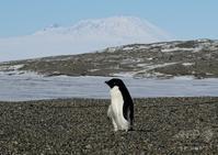 南極のペンギン - 隊長ブログ