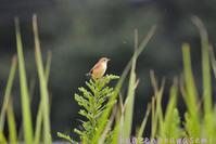 セッス幼鳥 - 気ままな生き物撮り