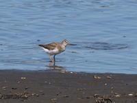 干潟でソリハシシギを撮影 - コーヒー党の野鳥と自然 パート2