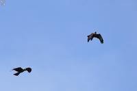 ハチクマ逃げる! - 野鳥公園