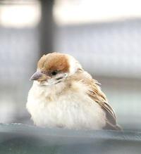 子すずめ - ゆるゆる野鳥観察日記