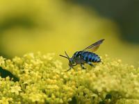 オミナエシで青い蜂たちの競演(ルリモンハナバチ/オオセイボウ) - トドの野鳥日記