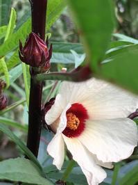 紅葵ローゼルと崑崙朝顔と胡瓜 - いととはり