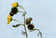 ヒマワリの実を食べに来たカワラヒワ - 風のささやき