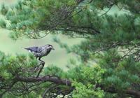 冬支度のホシガラス - 鳥見って・・・大人のポケモン