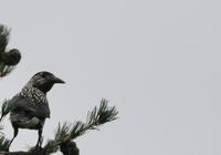 高原のホシガラス - 鳥見って・・・大人のポケモン