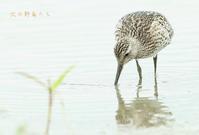 オバシギ - 北の野鳥たち