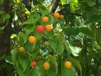 木の実が色づいてきた - じょんのび