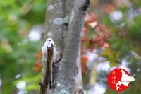久しぶりのシマエナガの中ぐらいの群れ - イチガンの花道