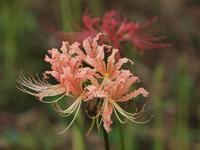 『木曽川水園の彼岸花(ヒガンバナ)と蘿藦(ガガイモ)の花等・・・・・』 - 自然風の自然風だより