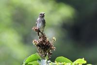 エゾビタキさん - ベジタブルpartⅤ(鳥と共に日々是好日)