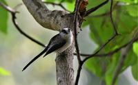 可愛いエナガさん - ベジタブルpartⅤ(鳥と共に日々是好日)