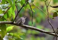コサメビタキさん・・・赤とんぼ - ベジタブルpartⅤ(鳥と共に日々是好日)