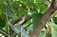 木陰のキビタキさん他・・・ - ベジタブルpartⅤ(鳥と共に日々是好日)
