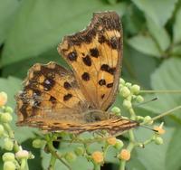 キタテハ Polygonia c-aureum c-aureum - 写ればおっけー。コンデジで虫写真